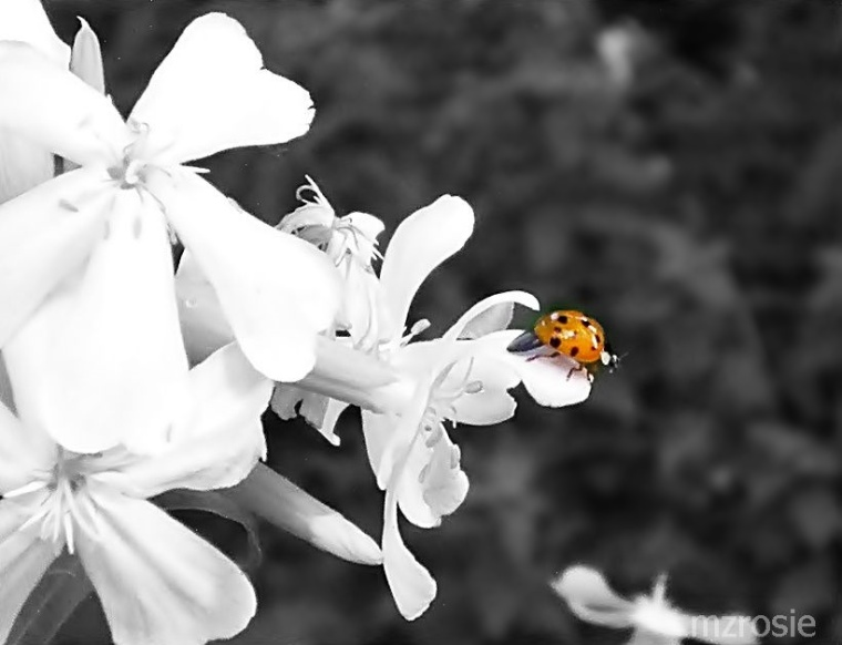 soapwort and a ladybug-1a